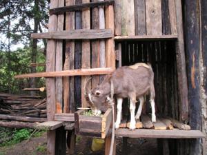 Lesogorol Breeding Buck
