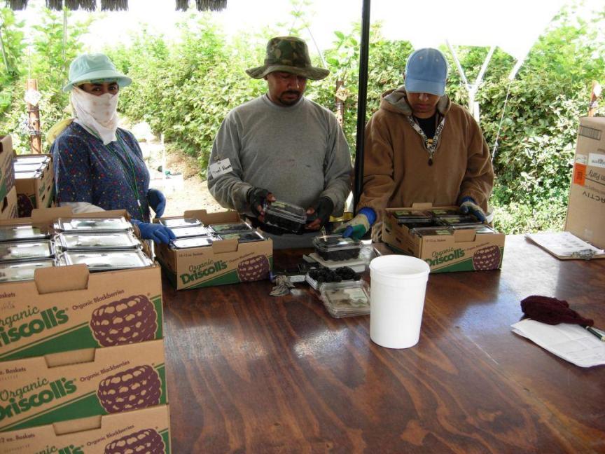 Saxton_Farmworkers Inspect Berries