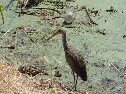 The Limpkin. Photo by Zachary Caple.