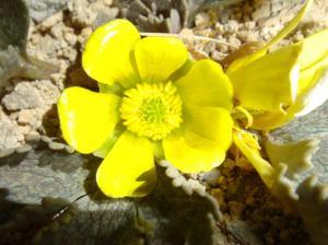 Image 4_Ranunculas up close