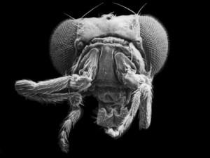 Fig-8-Mutant-Fruit-Flies-510x383