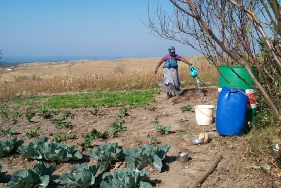 """Winter gardening in Hobeni. Note in the lower right the lantana camara (utywala bentaka in Xhosa, or """"bird's brandy""""), cultivated for medicinal purposes and to add flavor to imifino (wild greens). Photo by the author."""