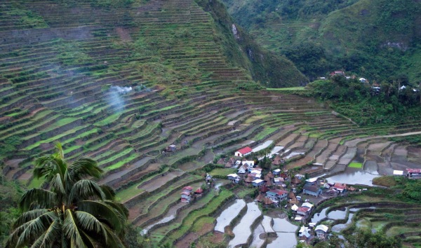 Figure 6. Rice terraces cover steep slopes of the Ifugao mountain province in the Philippines. For thousands of years, rhythms of life negotiated between humans, plants, rain, and soil have revolved around the cultivation of rice — hundreds of varieties of flowering grass planted in pond fields. These rhythms are breaking, as farmers leave for jobs in the city or mines nearby; earthquakes and shifting rainfall patterns contribute to landslides; and more and more terraces lie in disrepair. Photo by Elaine Gan.