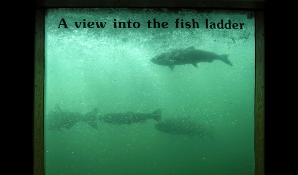 Figure 14. Fish ladder viewing window at Bonneville Dam on the Columbia River, northwest United States. Nearly all of the Pacific salmon that spawn in the upper reaches of the river's watershed must pass through at least one of the 14 such structures on its main stem.The dams, which provide the region with cheap electricity, irrigation water, and boat locks, have turned the river's once-wild rapids into a series of spillways and stair-stepped lakes, requiring fish ladders to aid salmon migration. Photo by Heather Swanson.