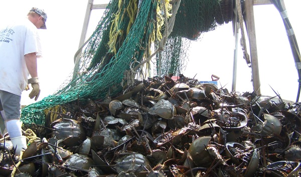Figure 10. Horseshoe crabs harvested on the American east coast. This marine animal, which has not changed much for 400 million years, was numerous until the mid-20th century. Since then, the stock has been greatly reduced, in part because their spawning grounds have been polluted, and because they are harvested in great numbers. Horseshoe crabs are ground up and used as fertilizer and feed, and their blue blood is used in the medical industry due to its special coagulating qualities. Photo by Peter Funch.