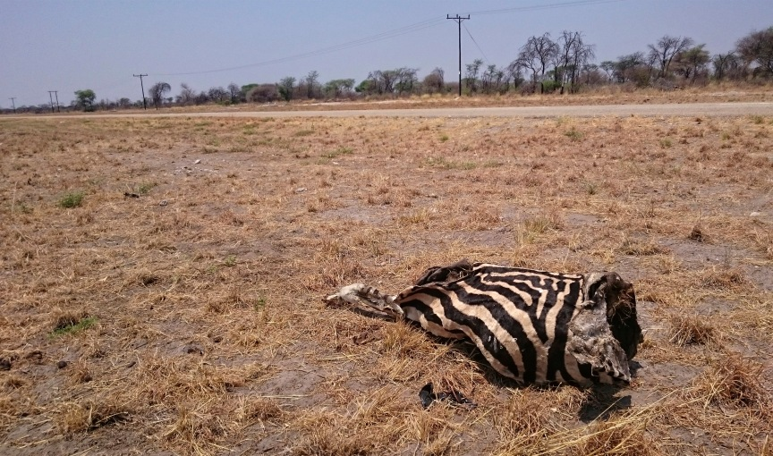 Figure 8. This carcass of a zebra lies next to a heavily trafficked road north of the Central Kalahari Game Reserve in Botswana, southern Africa. Roads like this connect people and places and serve as important trade routes. But these routes, together with veterinary fences meant to control the spread of disease to livestock, put wildlife at risk of collision with vehicles and inhibit the movement of migratory animals. Unable to travel in search of fresh water and forage, large numbers of animals have died over the years trapped in these networks of roads and fences. Photo by Pierre Du Plessis.